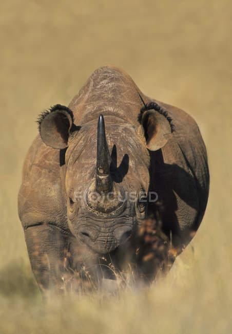 Rinoceronte bianco, Kenya — Foto stock
