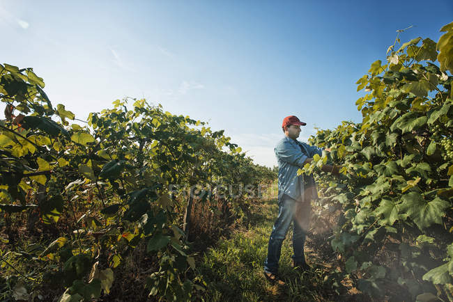 Man tending the growing grape vines — Stock Photo