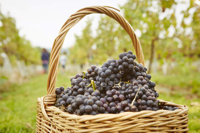 Baskets of red grapes — Stock Photo