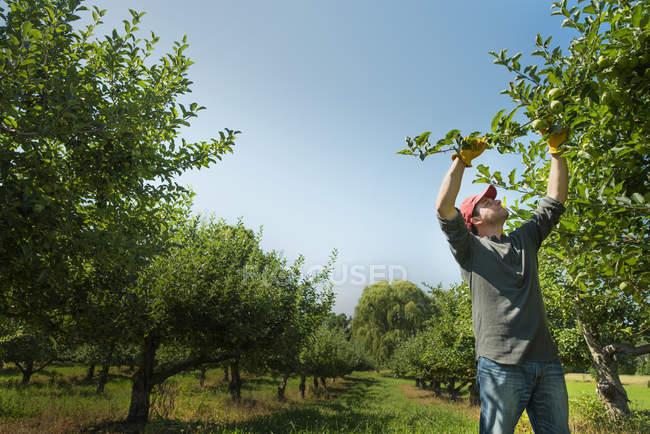 Человек собирает яблоки — стоковое фото