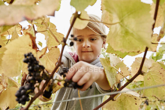 Girl cuting a bunch of black grapes — Stock Photo