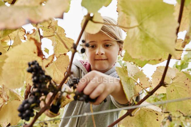 Девушка вырезает кучу черного винограда — стоковое фото