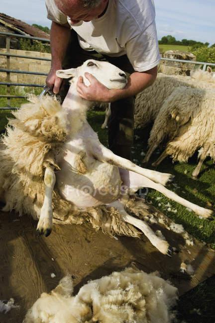 Berger tondre un mouton — Photo de stock