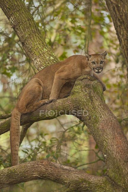 Florida panther, Puma — Stock Photo