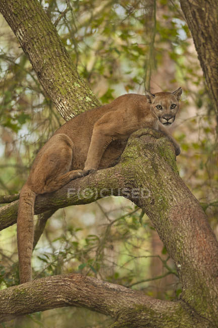 Panthère de Floride, Puma — Photo de stock