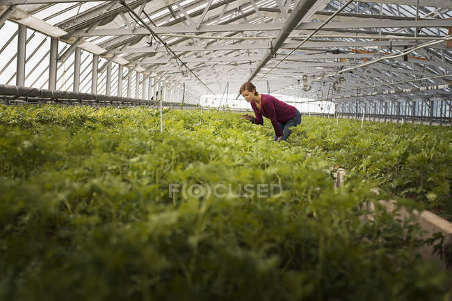 Woman working in a large glasshouse — Stock Photo