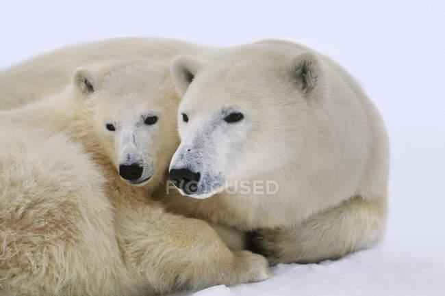Polar bear with cub — Stock Photo