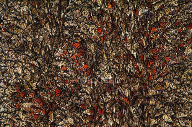 Farfalle monarca, Danaus plexippus — Foto stock