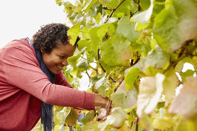 Grape picker selecting bunches of grapes — Stock Photo