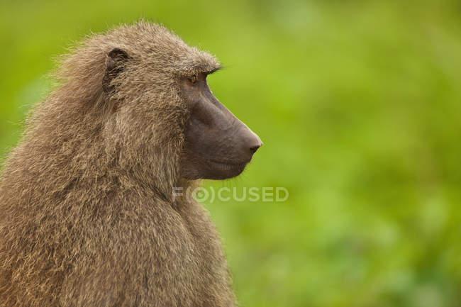 Babbuino femmina, Papio cynocephalus — Foto stock