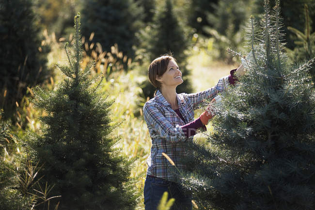 Woman choosing Christmas tree in plantation — Stock Photo