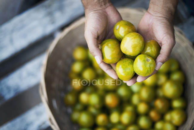 Organic Tomatillos just harvested — Stock Photo
