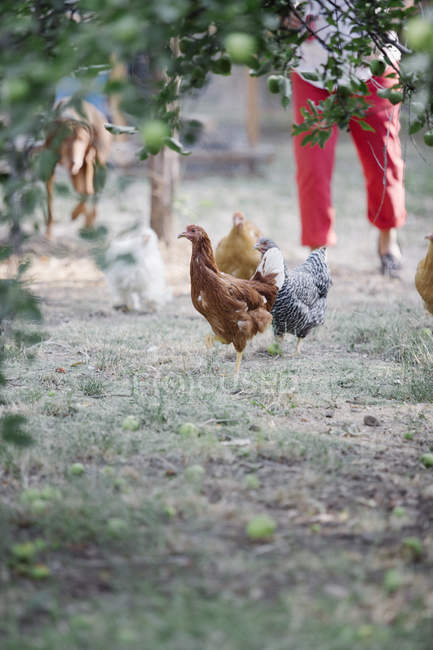 Chickens standing on a lawn — Stock Photo