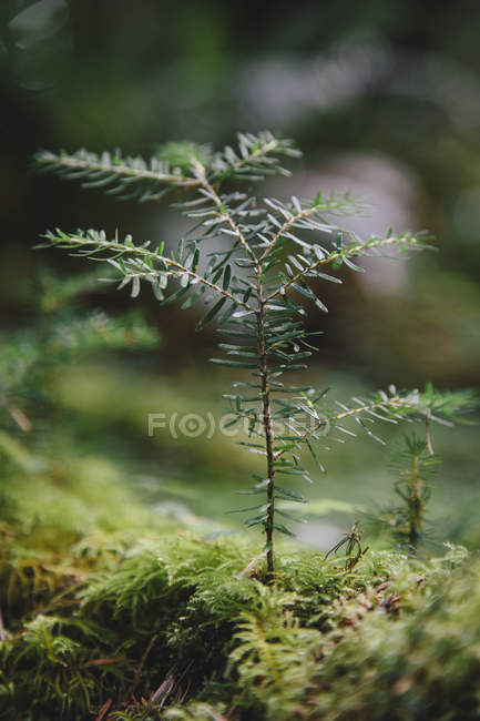 Western Hemlock sapling in lush — Stock Photo