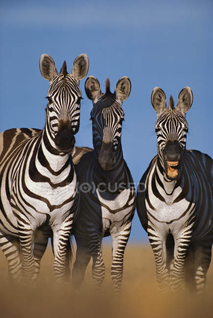 Zebre che raglia, Equus quagga — Foto stock
