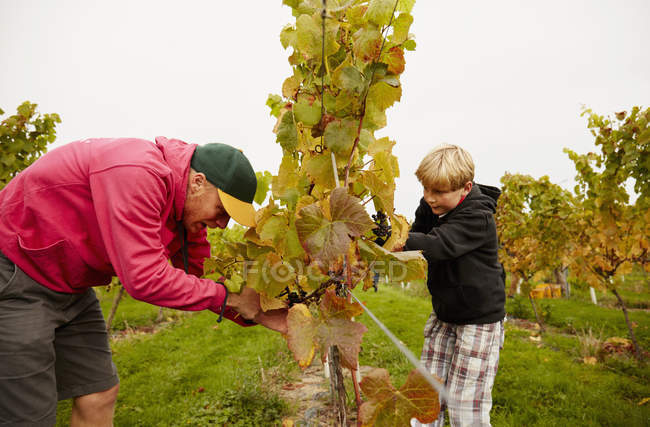 Father and son harvesting grapes — Stock Photo