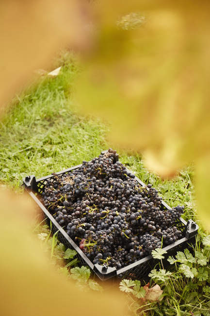 Harvested bunches of grapes. — Stock Photo