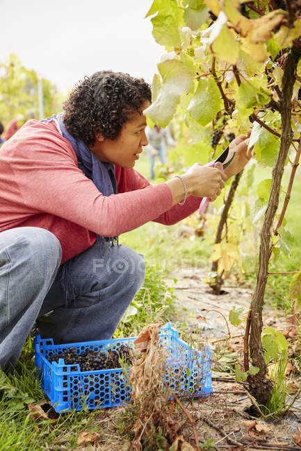 Grape picker woman — Stock Photo