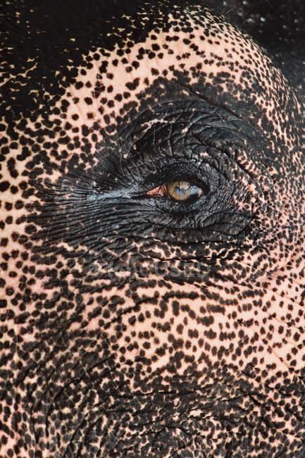 Elefante asiatico domestico — Foto stock