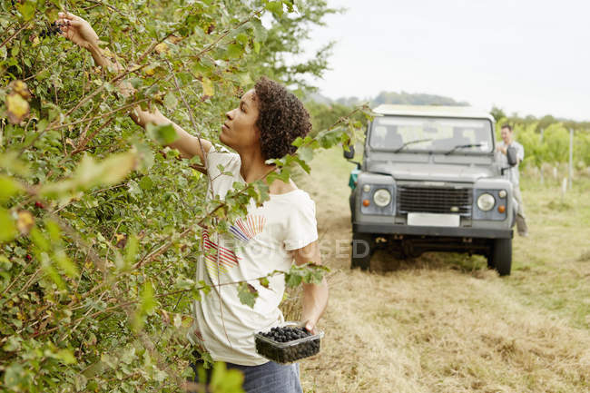 Woman picking blackberries — Stock Photo