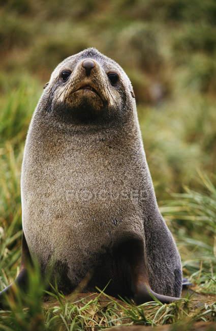 Foca da pelliccia antartica — Foto stock