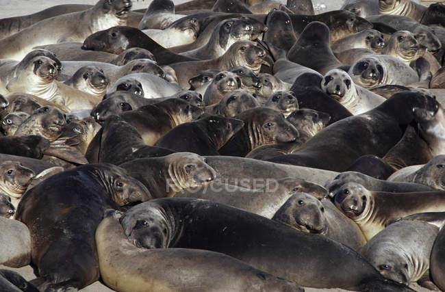 Giovane elefante settentrionale foche — Foto stock