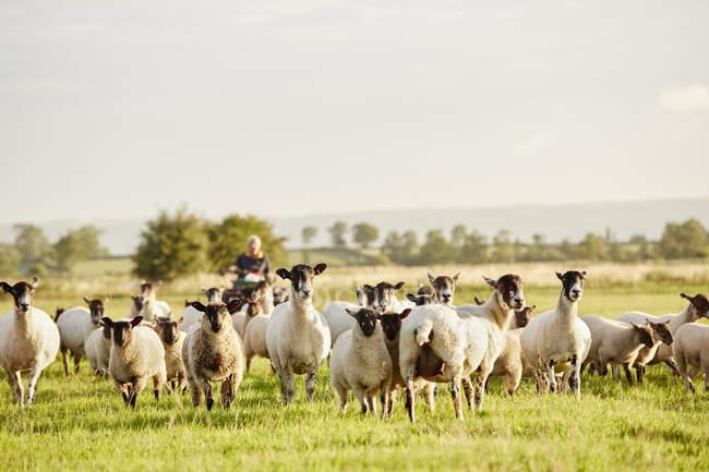 Schafherden wachen mit ihren Köpfen — Stockfoto
