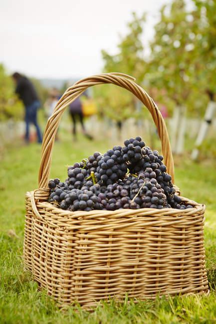 Canastas de uvas rojas - foto de stock