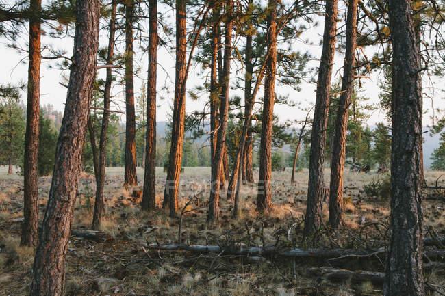 Ponderosa pine forest at dusk — Stock Photo