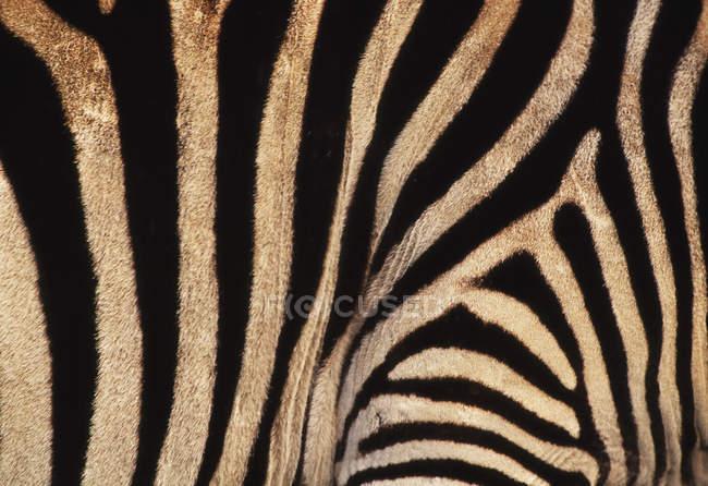 Pelle di zebra, Equus quagga — Foto stock