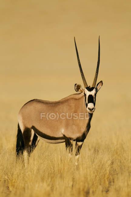 Orice o Orice gazzella in pascolo — Foto stock