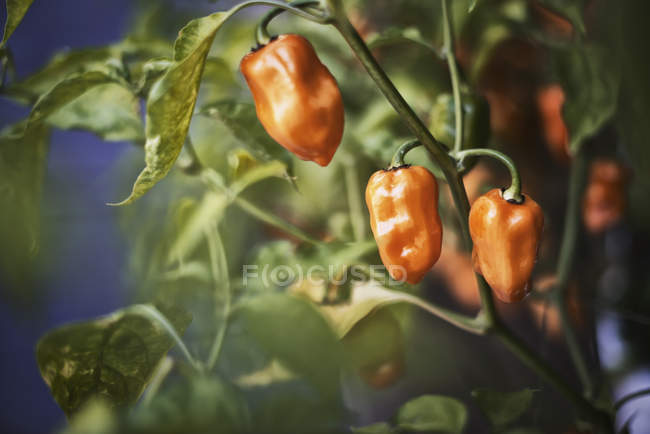 Pepper plant with fruits — Stock Photo