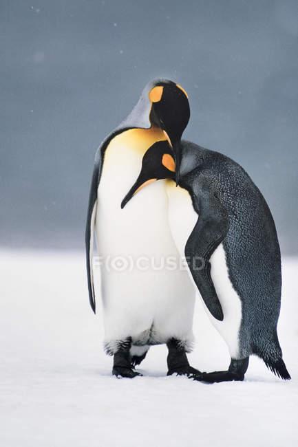Roi pingouins courtiser — Photo de stock