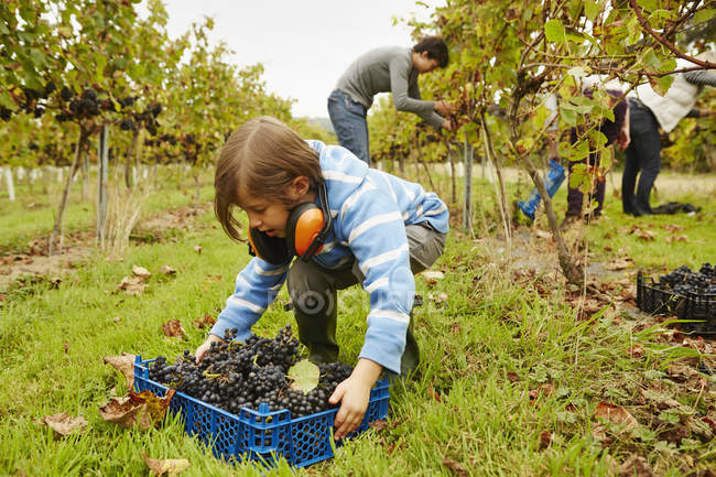 Young girl picking up a crate of grapes — Stock Photo