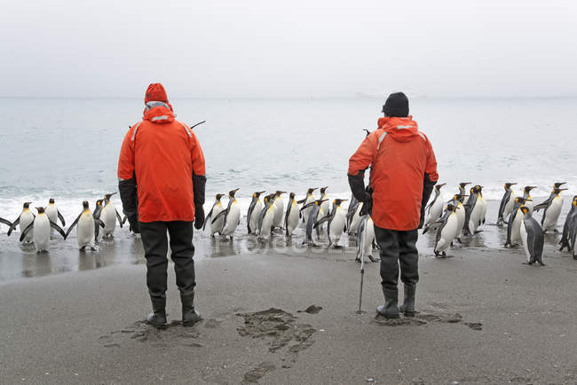Two people looking at King Penguins — Stock Photo