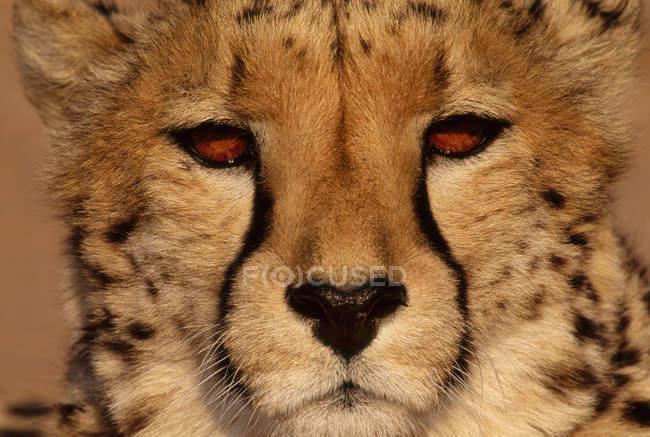 Cheetah, Acinonyx jubatus — Stock Photo