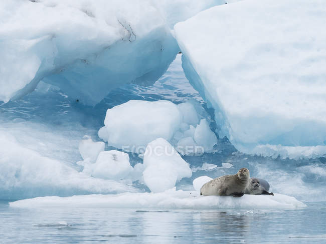 Two seals at Glacial lake — Stock Photo
