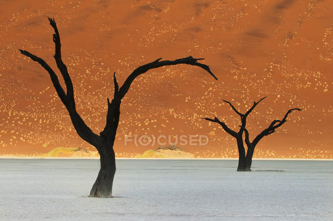 Dead camelthorn trees — Stock Photo