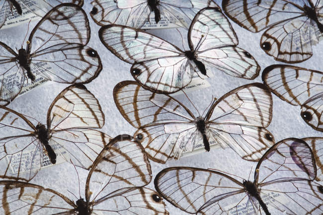 Glass wing butterflies — Stock Photo