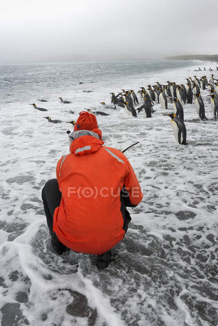 Person taking pictures of King Penguins — Stock Photo