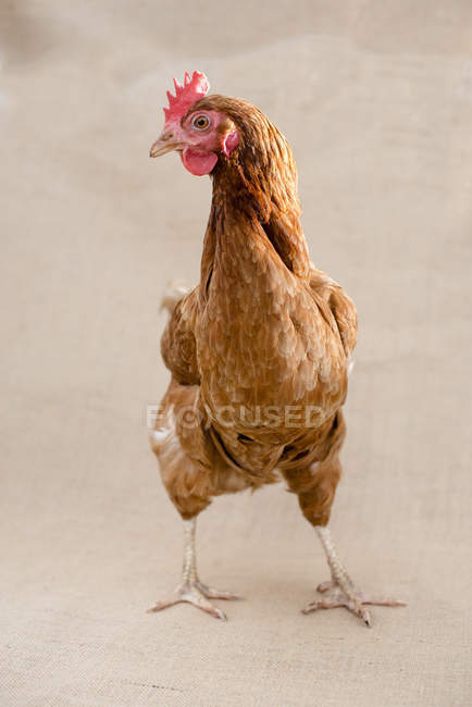 Pollo con plumas marrones - foto de stock