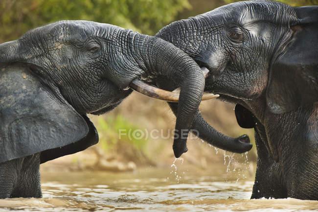 Tori dell'elefante in piedi in acqua — Foto stock
