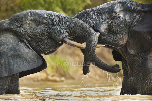 Elephant bulls standing in water — Stock Photo