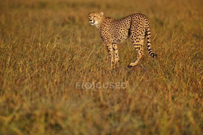 Caccia del ghepardo, Acinonyx jubatus — Foto stock