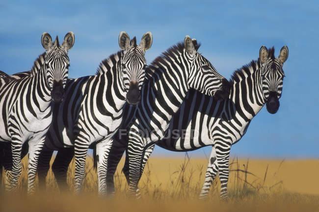 Zebre, Equus quagga — Foto stock