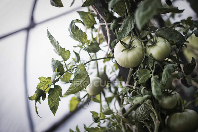 Tomato plants growing in a polytunnel. — Stock Photo