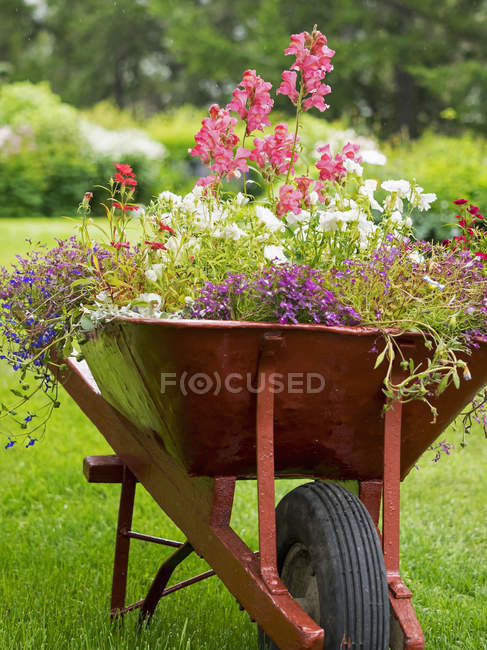 Wheelbarrow planted up with flowering plants — Stock Photo