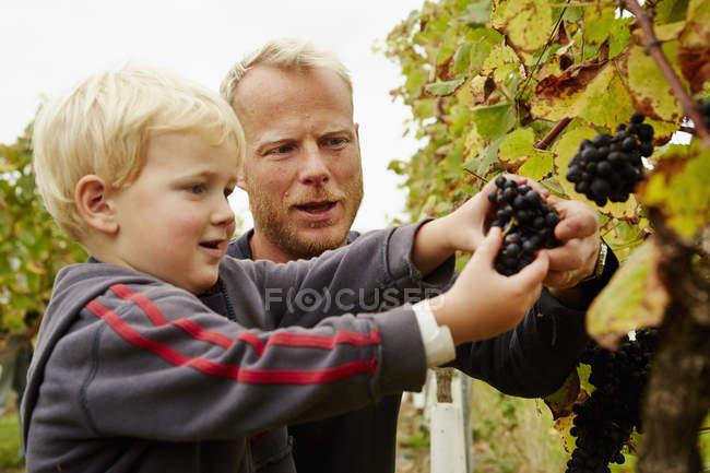 Homem e seu filho colhendo uvas — Fotografia de Stock