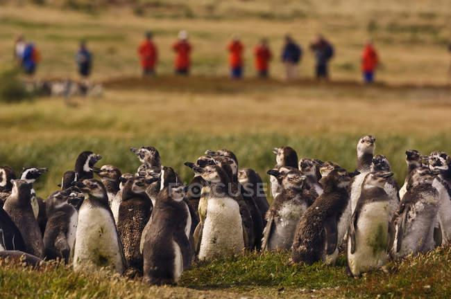 Pinguini magellanici, Spheniscus magellanicus — Foto stock