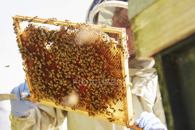 Beekeeper holding up a super frame — Stock Photo